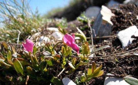 Bergblume (Wikipedia)
